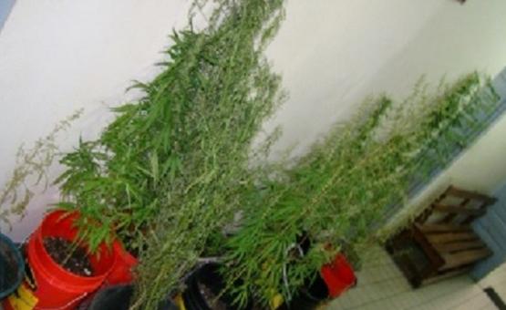 Marihuanateler meldt zich bij politie