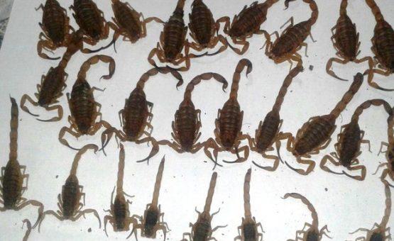 Em um dia, mulher encontra 55 escorpiões em casa no Norte de MG