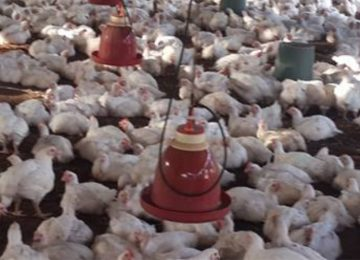 Suriname vai aumentar importação de frango em 40%