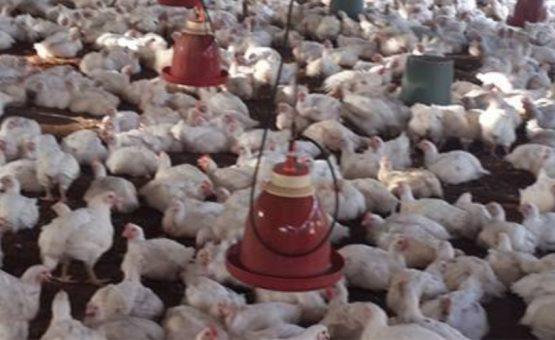 Ministério do Comércio, Indústria e Turismo tem projeto para aumentar produção de frango no Suriname