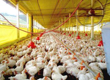 China lança investigação sobre importação de frango do Brasil