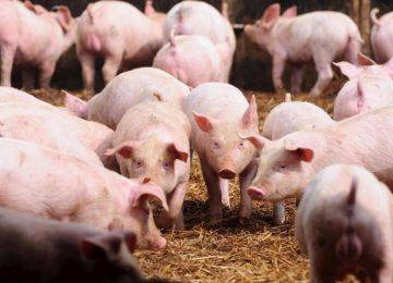 O assustador vírus incurável que está dizimando criações de porco na China