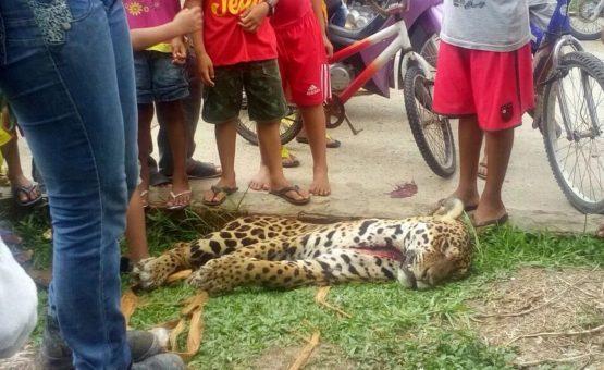Onça é morta por caçador e tem carne distribuída a moradores no interior do AM