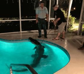 Jacaré de 3 metros é achado em piscina de casa na Flórida